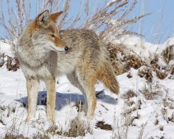 Prairiewolf